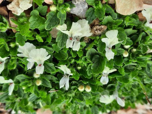 stachys corsica