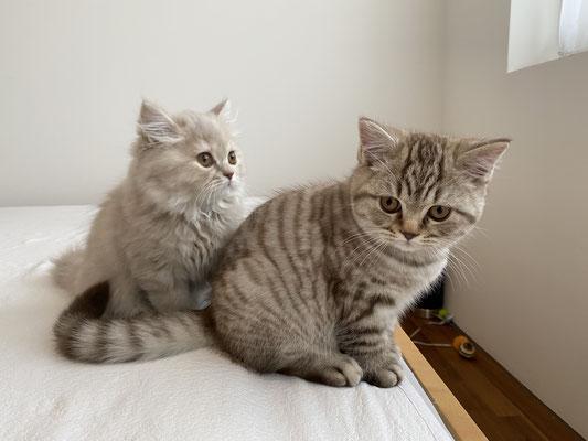 Fiala, Felinus