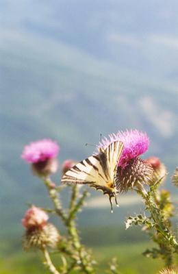 Le grand machaon fréquente les prairies fleuries alentour