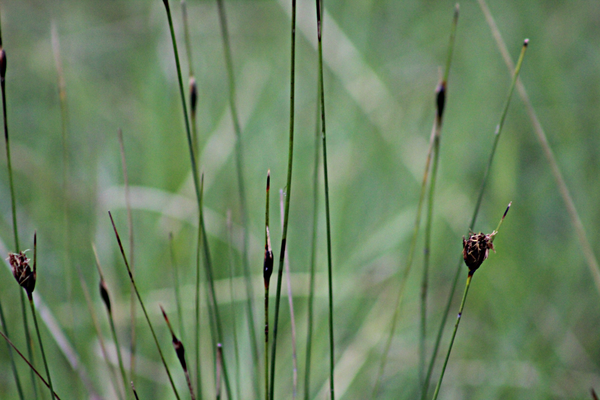 Das vom Aussterben bedrohte Schwarze Kopfried (Schoenus nigricans), ein Sauergras (Foto: Thomas Hövelmann)