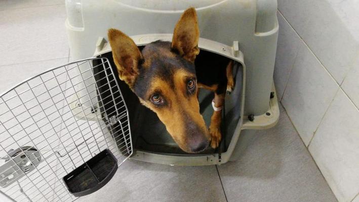 Auf der Strasse zum Tierheim haben wir diese kranke Hündin eingefangen und in die Tierklinik gebracht, mittlerweile erholt sie sich im Tierheim