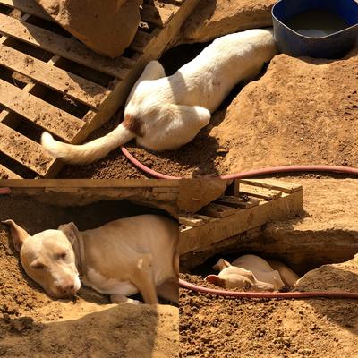 Marshal (oben) hat das Loch gegraben und Patouta (unten) freut sich über die schattige Koje
