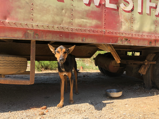 Auf der Strasse zum Tierheim haben wir diese kranke Hündin eingefangen und in die Tierklinik gebracht, mittlerweile erholt sie sich im Tierheim. Die Geschichte hier.