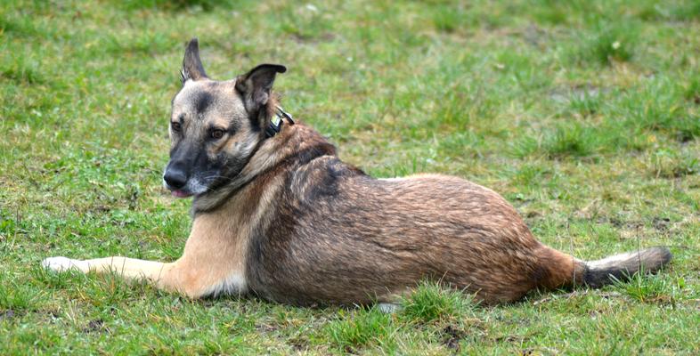 Scheuer Schäferhund beim Treff für Tierschutzhunde in Harsum