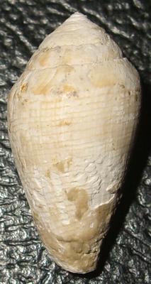 Conus sp, Macchia della Turchina, Monteromano (VT)