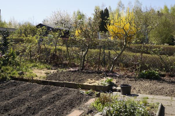 Angehäufelte Kartoffeln, Kleingarten Brühl