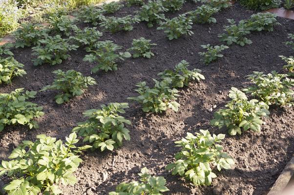 Kartoffelbeet Anfang Mai 2016