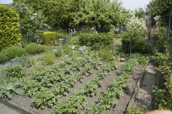 Kleingarten mit Kartoffelbeet