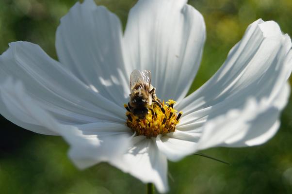 weiße Cosmeenblüte