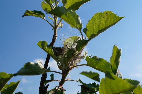 Raupen der Apfelgespinstmotte
