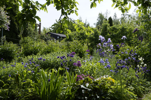 Stauden im Kleingarten, Blüte Iris, Akelei ...