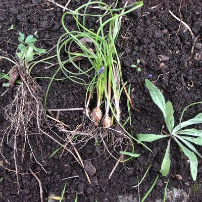 Beete säubern: kriechender Hahnefuß, Traubenhyazinthe, Kornblumenpflänzchen