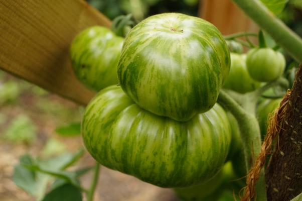 Smaragdapfel