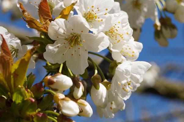 Kirschblüte Süßkirsche 20.4.2016 Brühl
