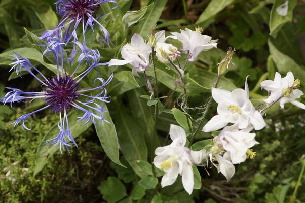 blühende Flockenblume mit weißer Akelei
