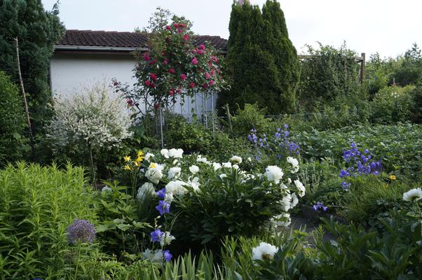 Gartenansicht Juni mit Pfingstrosen, Glockenblumen, Kletterrose