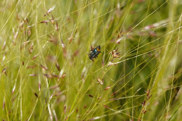 Käfer auf Gräserblüte