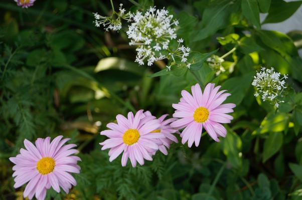 bunte Margeritte und weiße Spornblume