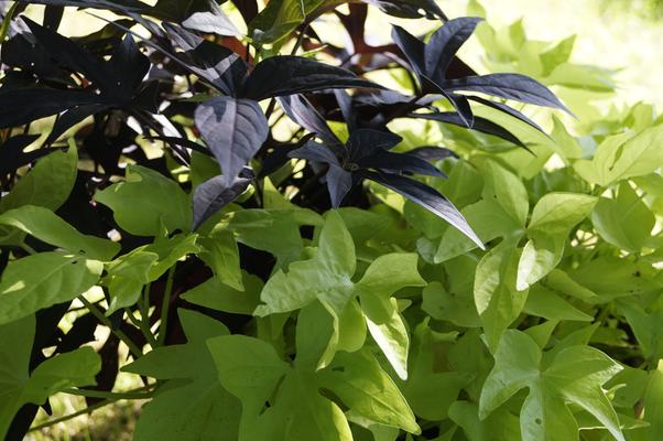 Süßkartoffeln als Blatt-Topfpflanze, lila und grünes Blatt