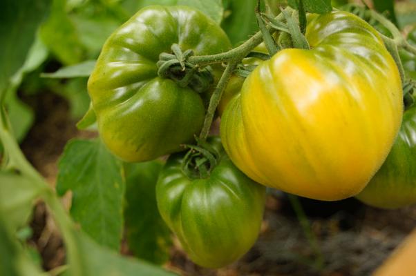 Tomate Honigsüßer Erlöser
