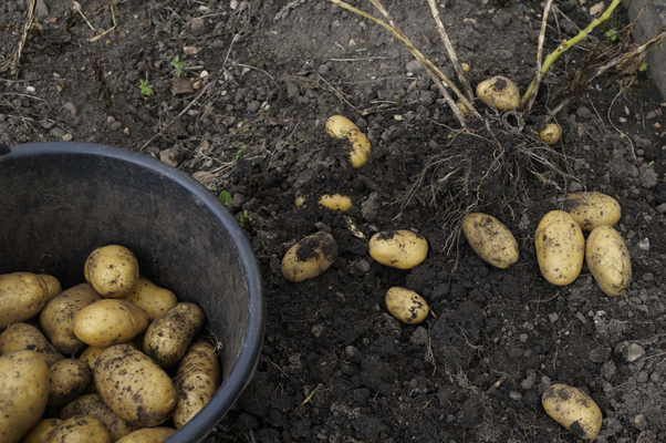 Kartoffelernte, Sorte: Nicola