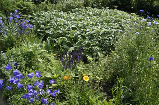 Kartoffelbeet mit Glockenblumen, Kornblumen