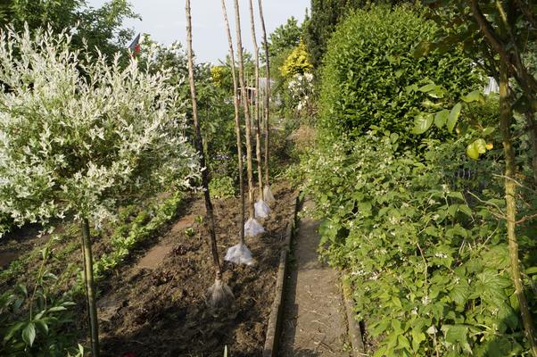 Bohnstangen mit Bohnensaatschutznetzen