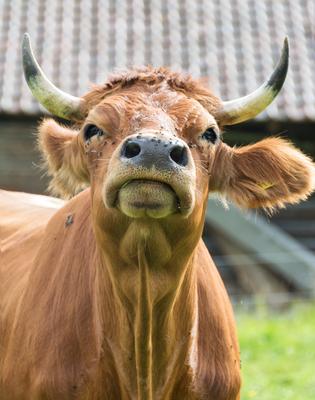 Murnau Werdenfelser Kuh am Luttensee von SILVIA NEBEL aus Mittenwald in Bayern