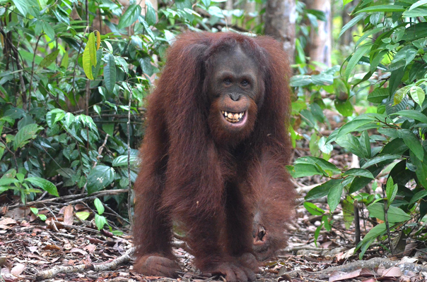 Bild: Sintang Orangutan Center