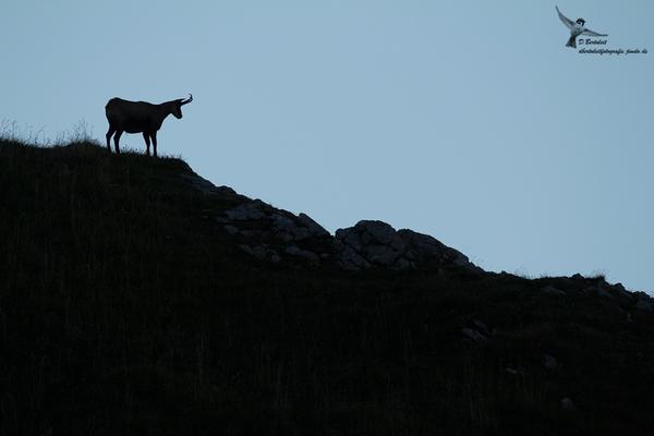 Am nächsten Morgen zeigte sich eine Gams nahe dem Gipfel