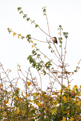 Zugvogelzählung im Herbst: ein durchziehender Kleiber...