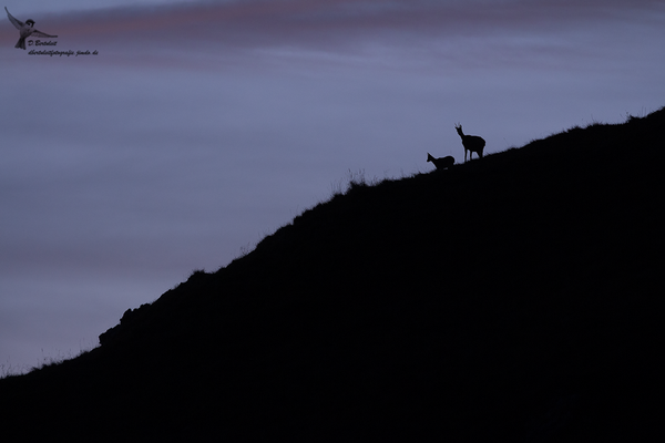 Gämse mit diesjährigem Kitz kurz nach Sonnenuntergang