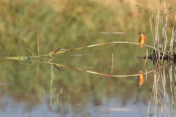 Kleiner Beifang, ein Eisvogel-Weibchen