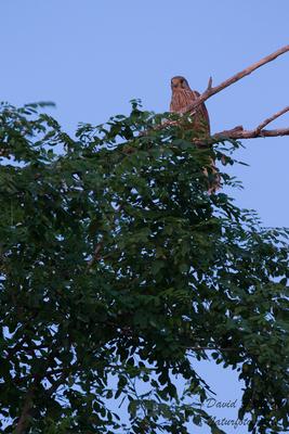 Turmfalke (auch im Urlaub meine Lieblingszeit)