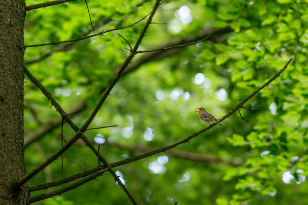 Rotkehlchen, Schwabmünchen