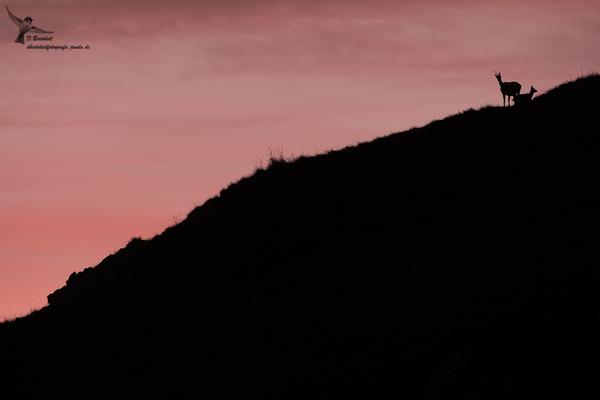 Gämse mit diesjährigem Kitz bei Sonnenuntergang
