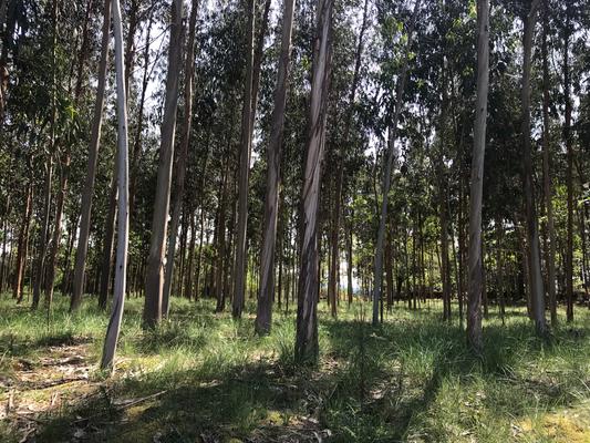Eukalyptus überall