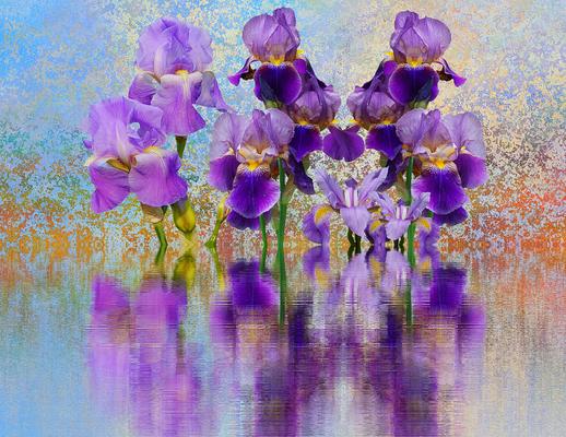 Iris violets