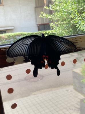 蝶々 クロアゲハ 天に舞う