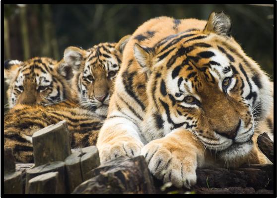 Maman tigre