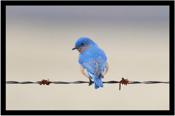 Oiseau bleu sur barbelé