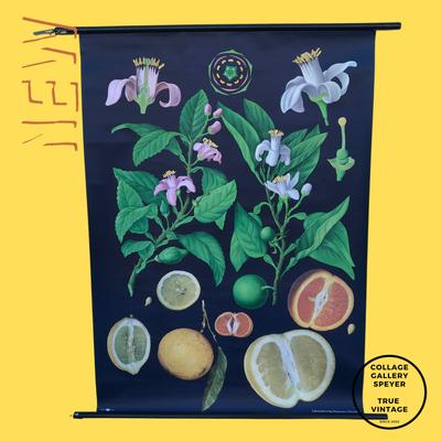 Wandkarte mit Zitrusfrüchten aus den 1970er Jahren