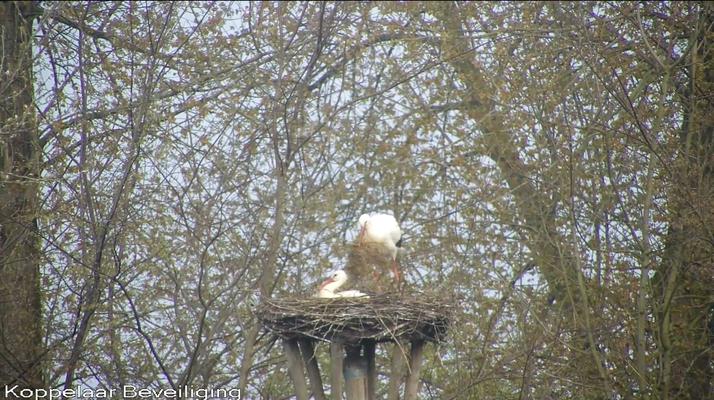 14 april: er wordt nog druk aan het nest gebouwd