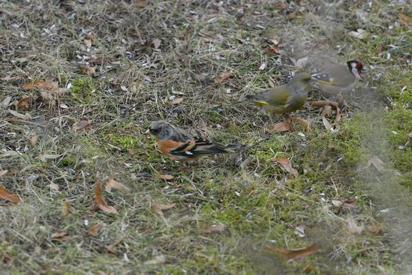 Bergfink, Grünling und Stieglitz im Garten