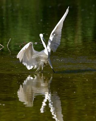 Familie der Reiher: Eine besondere Art zu fischen haben Seidenreiher: sie schlagen mit den Flügeln und hüpfen umher, um die Fische aufzuscheuchen