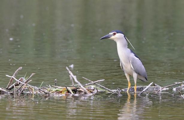 Familie der Reiher: So sehen Nachtreiher als Altvogel aus. Dann sind sie etwa so groß wie Rabenkrähen