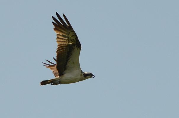 Fischadler mit weißem Bauch