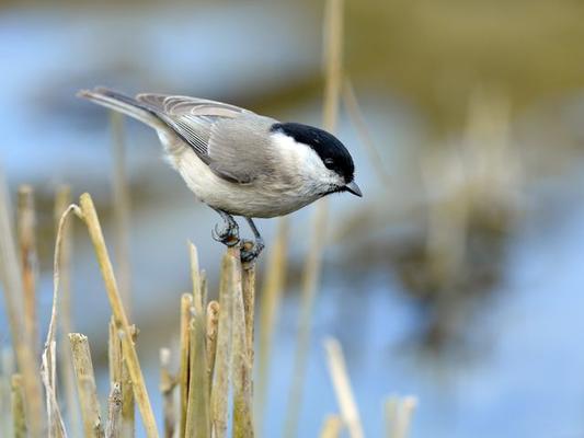 Auch ganz kleine Vögel wie die Sumpfmeise entgehen dem geübten Blick des Fotografen nicht