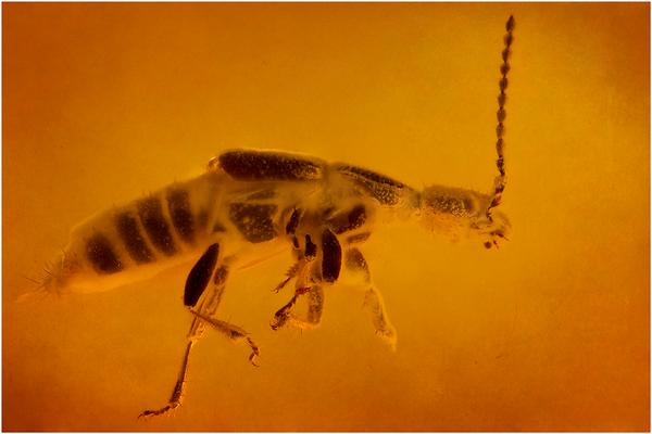 79. Staphylinidae, Kurzflügelkäfer, Baltic Amber
