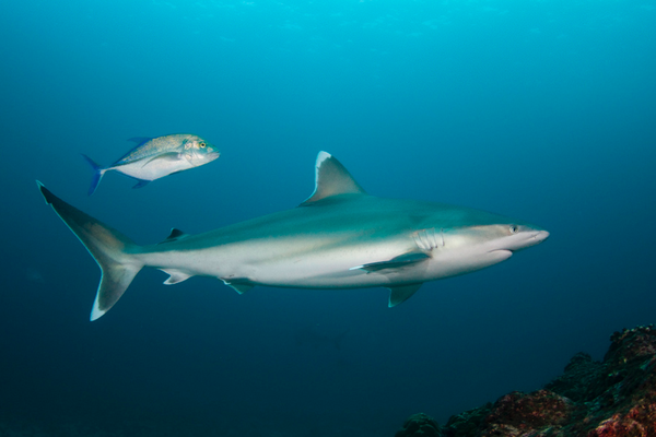 Silvertip shark swimming by in Cocos Island, ©Underseahunter Group